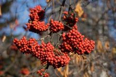 Branches d'arbre de sorbe avec les baies mûres rouges Photographie stock libre de droits
