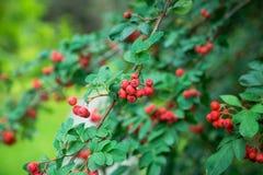 Branches d'arbre de sorbe avec les baies mûres rouges Images libres de droits