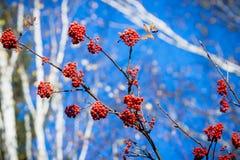 Branches d'arbre de sorbe avec les baies mûres rouges Image libre de droits