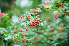 Branches d'arbre de sorbe avec les baies mûres rouges Photos libres de droits