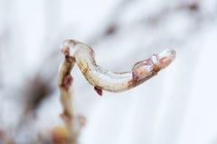 Branches d'arbre en ressort de attente de glace Photographie stock libre de droits