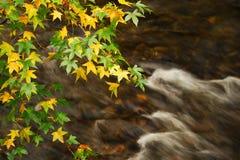 Branches d'arbre et feuilles colorées au-dessus de rivière débordante Image libre de droits