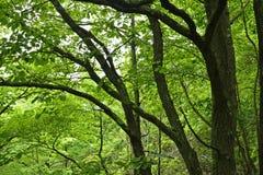 Branches d'arbre foncées contrastant contre la forêt verte photographie stock