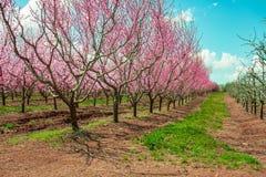 Branches d'arbre fruitier de p?che pendant la floraison avec des fleurs photo stock