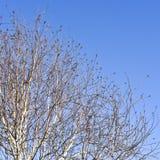 Branches d'arbre nues de bouleau pendant l'hiver Image libre de droits