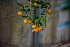 Branches d'arbre orange lourdes avec le fruit accrochant vers le bas Photos libres de droits