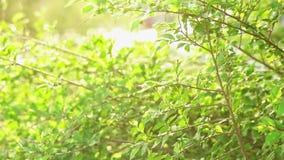 Branches d'arbre d'orme se déplaçant avec le slomo rétro-éclairé de vent banque de vidéos