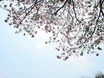 Branches d'arbre roses de trompette Photos stock