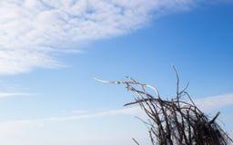 Branches d'arbre sèches essayant la portée pour le ciel bleu et le soleil Photographie stock libre de droits
