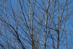 Branches d'arbre sans feuilles contre le ciel bleu Image libre de droits