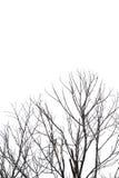 Branches d'arbre sur le fond d'isolat Image libre de droits