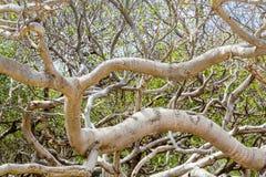 Branches d'arbre toxique de Manchineel photographie stock