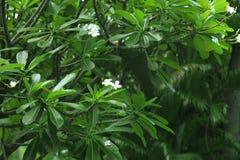 Branches d'arbre tropical de plumeria avec des fleurs Images stock