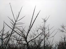 Branches d'argousier contre le ciel photo libre de droits