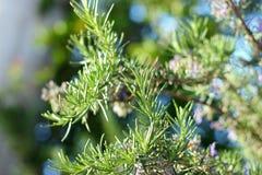 Branches d'herbe de Rosemary avec des feuilles en gros plan Cuisson de l'ingrédient de nourriture, usines crues d'assaisonnement Image stock