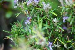 Branches d'herbe de Rosemary avec des feuilles en gros plan Cuisson de l'ingrédient de nourriture, usines crues d'assaisonnement Photographie stock libre de droits