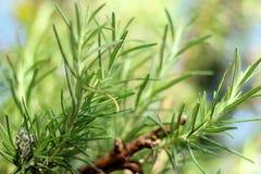 Branches d'herbe de Rosemary avec des feuilles en gros plan Cuisson de l'ingrédient de nourriture, usines crues d'assaisonnement Photographie stock