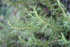 Branches d'herbe de Rosemary avec des feuilles en gros plan Cuisson de l'ingrédient de nourriture, usines crues d'assaisonnement Images libres de droits