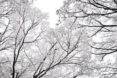 Branches d'hiver des arbres sur la neige de fond et le ciel blanc Images stock