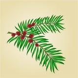 Branches d'if avec le vecteur rouge de baies Photographie stock