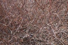 Branches d'olivier troubles Images libres de droits