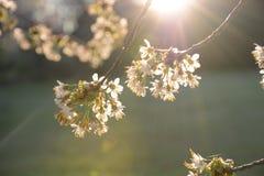 Branches d'un arbre de floraison dans la fin de lumière du soleil  Photo stock