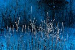 Branches d'un buisson couvert de gelée Images libres de droits