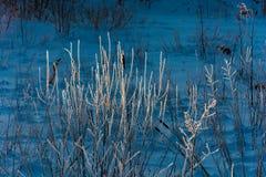 Branches d'un buisson couvert de gelée Images stock