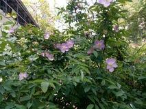 Branches d'un cynorrhodon vert de floraison de ressort Photo stock
