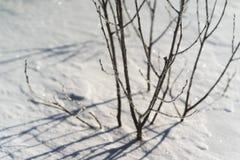 Branches d'un jeune arbre dans la neige Image libre de droits