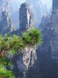Branches d'un sapin ou d'un pin en parc national de Zhangjiajie, Chine photographie stock