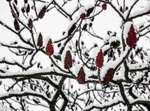 Branches d'un sumac fleurissant de staghorn en hiver photographie stock