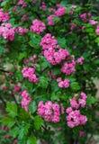 Branches d'une aubépine décorative dans un jardin avec les fleurs roses images libres de droits