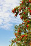 Branches d'une cendre de montagne mûre Photo stock