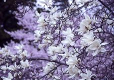 Branches d'une magnolia de floraison Image stock