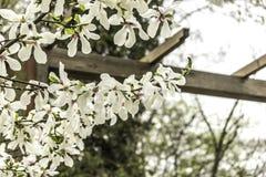 Branches d'une magnolia de floraison une journée de printemps chaude Photographie stock