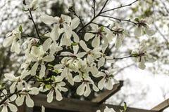 Branches d'une magnolia de floraison une journée de printemps chaude Photos stock