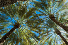 Branches of date palms under blue sky Royalty Free Stock Images