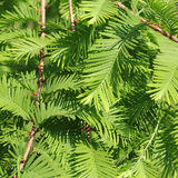Branches of the Dawn Redwood, Metasequoia glyptostroboides Stock Image