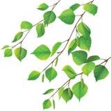 Branches de bouleau Photos libres de droits