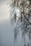 Branches de bouleau dans le ciel Images stock