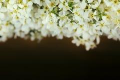 Branches de cerise d'oiseau sur un conseil en bois léger Cadre Copiez l'espace Fond floral Fond en bois Images stock