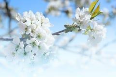 Branches de cerise fleurissante contre le ciel photo libre de droits