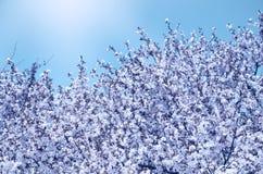 Branches de cerise de floraison contre le ciel bleu photos libres de droits