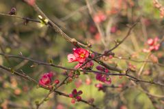 Branches de cerise de floraison, en premier ressort Fond brouillé profond images stock