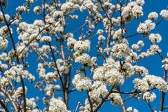 Branches de cerisier avec les fleurs blanches au printemps Photo stock