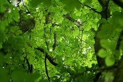 Branches de châtaigne Photo stock