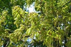 Branches de chêne en fleur Photo libre de droits