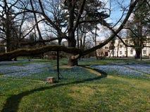 Branches de chêne et fleurs de ressort Photographie stock libre de droits