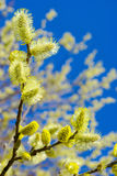 branches de Chat-saule contre le ciel bleu Photo libre de droits